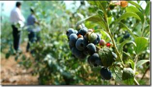 Berries Ciren 001